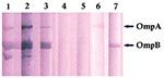 Thumbnail of Immunoblot of Rickettsia africae antigens with R. africae–positive and –negative patient serum samples. Lanes 1–3: R. africae–positive patients' serum samples; lanes 4–5: R. africae–negative patients' serum samples; lane 6: anti–OmpA monoclonal antibody; lane 7: anti–OmpB monoclonal antibody.