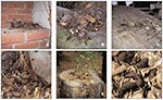 Thumbnail of Typical raccoon latrines found in urban/suburban environments. (A) Latrine on a chimney ledge, illustrating the climbing abilities of raccoons and their tenacity in maintaining latrines. (B) Large latrine in the crotch of an oak tree approximately 3.5 m (15 feet) above ground. The sides of the tree were visibly stained with fecal residue that rain had washed down the trunk, contaminating a child's play area below with Baylisascaris procyonis eggs. (C) Large latrine, in use for years