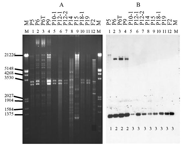 Plasmid restriction with PstI (A) and hybridization of isolates carrying the CTX-M-9 enzyme with the CTX-M-9 probe (B). The isolates are as listed in Figure 1. Below each line of hybridization, the pattern shown in the Table is indicated.