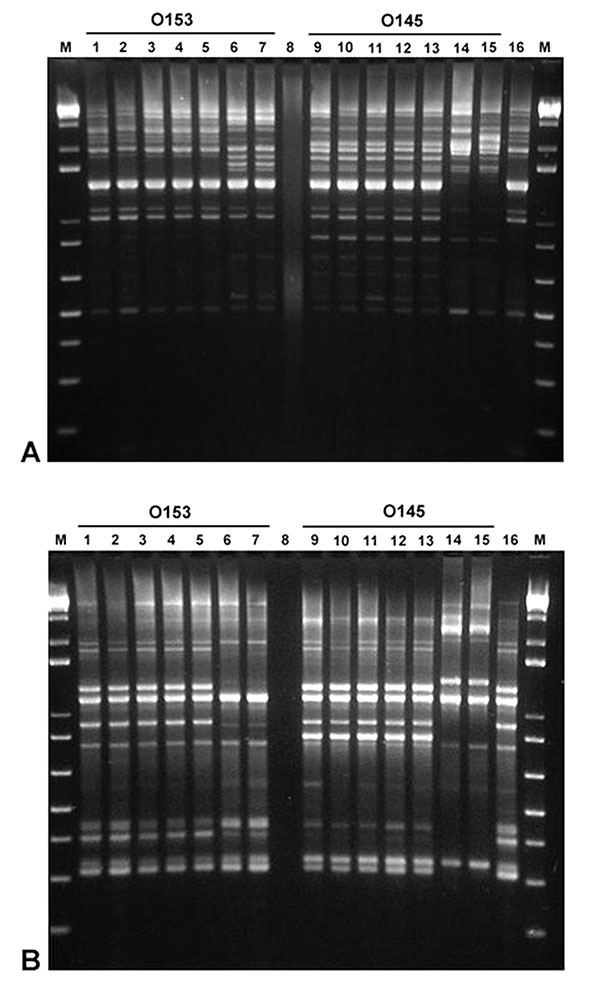 Repetitive-element sequence–based polymerase chain reaction analysis of genomic DNA from various Escherichia coli strains using REP (A) and ERIC (B) primers. Lanes 1 and 2, O153:H7 DNA (rabbit isolates 02-3446 and 02-3301, respectively); Lanes 3–5, O153:H- DNA (rabbit isolates 01-3014, 02-3050, and 02-3300); Lanes 6 and 7, O153:H- DNA (human isolates, ECRC 99-1808 and 99-1818); Lane 8, no DNA; Lanes 9 and 10, O145:H7 DNA (rabbit isolates 02-3448 and 02-3205); Lanes 11–13, O145:H- DNA (rabbit iso