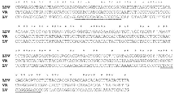 Nucleotide alignment of a segment of open reading frame (ORF) 1b of lactate dehydrogenase-elevating virus–P, porcine reproductive and respiratory syndrome virus VR-2332, and porcine reproductive and respiratory syndrome virus–Lelystad virus beginning at nucleotides 1169, 1165, and 1165, respectively. *Indicates identical nucleotides. Degenerate primer sets for polymerase chain reaction were previously made to the underlined segments (41).