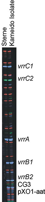 Thumbnail of Multiple-locus, variable-number tandem repeat analysis genotype of all 48 Kameido isolates and the Sterne strain of Bacillus anthracis: vrrA, 313 bp; vrrB1, 229 bp; vrrB2, 162 bp; vrrC1, 583 bp; vrrC2, 532 bp; CG3, 158, bp; pX01-att, 129 bp; pX02, no amplification.
