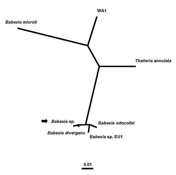 Unrooted phylogenetic tree for the complete 18S rRNA gene of selected Babesia spp. The tree was computed by using the quartet puzzling maximum likelihood method of the TREE-PUZZLE program. The scale bar indicates an evolutionary distance of 0.01 nucleotide substitutions per position in the sequence. The GenBank accession numbers for the sequences used in the analysis are as follows: B. divergens (6), AY046576; B. odocoilei, AY046577; Babesia sp. EU1 (6), AY046575; the Babesia sp. from the patien