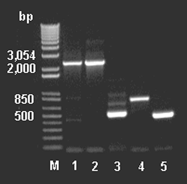 Polymerase chain reaction amplification of the partial vanHAX clusters from DNA extracted from animal feed–grade avoparcin and the antibiotic producer Amycolatopsis coloradensis NRRL 3218, and genes vanH, ddlN, and vanX from DNA extracted from animal feed grade avoparcin. M: 1 kb plus DNA ladder. Lanes 1–2: the partial van cluster (2.3–2.4 kb) amplified with primers vanH‑1 and vanX‑4; lane 1: DNA extracted from animal feed grade avoparcin; lane 2: DNA of the avoparcin producer A. coloradensis NR