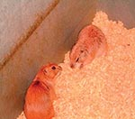 Thumbnail of Black-tailed prairie dogs (Cynomys ludovicianus).
