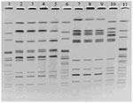 Thumbnail of Pulsed-field gel electrophoresis of Salmonella enterica serotype Enteritidis isolates from Biorat and Ratin products using XbaI (lanes 2–5) and BlnI (lanes 7–10). Lanes 1, 6, and 11, molecular weight standard strain AM01144; lanes 2 and 7, Biorat isolate from 1998; lanes 3 and 8, Biorat isolate from 1995; lanes 4 and 9, Biorat isolate from 2001; lanes 5 and 10, Ratin isolate.