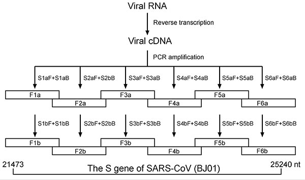 Diagram showing amplification of six overlapping fragments covering full-length spike gene sequence of severe acute respiratory syndrome–associated coronavirus by nested reverse transcriptase–polymerase chain reaction.
