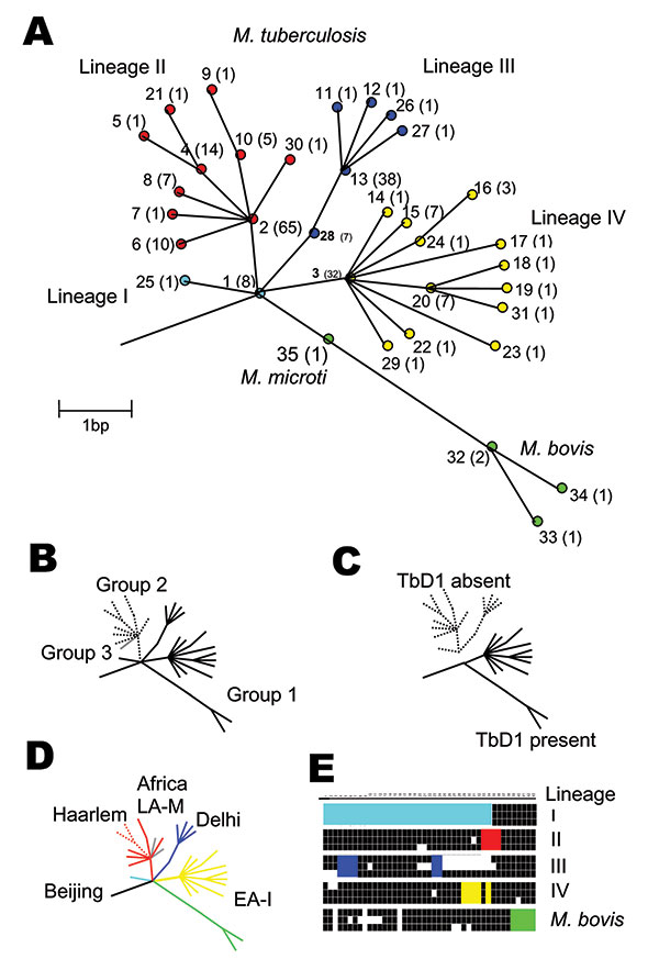Unifying phylogeny for Mycobacterium tuberculosis. A) Maximum parsimony tree of M. tuberculosis and M. bovis based on 37 silent single-nucleotide polymorphisms in 225 isolates. Synonymous sequence types (SST) are marked 1–35. The frequency of each SST is marked in parentheses. The nodes of the major lineages are highlighted: lineage I (cyan), lineage II (red), lineage III (blue), lineage IV (yellow), and M. bovis (green). The colors correspond to those in Figure 2. Note both M. africanum Type I