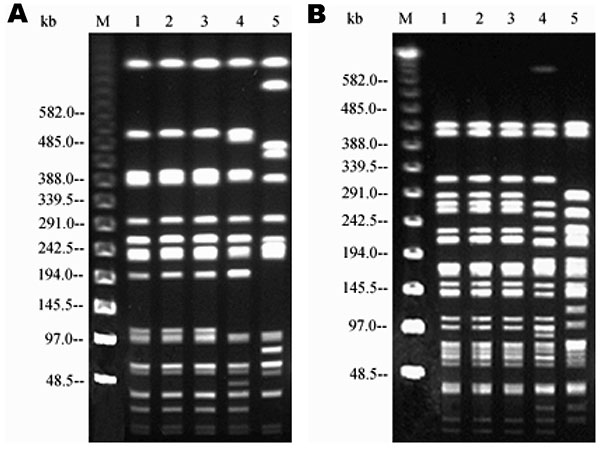 Pulsed-field gel electrophoresis profiles of the three strains after digestion with XbaI (left) and SpeI (right). Lane M, molecular size markers. Lane 1, porcine strain. Lane 2, bovine strain. Lane 3, human strain. Lane 4, comparison strain Salmonella enterica serovar Typhimurium DT104A with a different resistance pattern. Lane 5, S. Typhimurium DT104L strain with the common pentaresistance pattern.