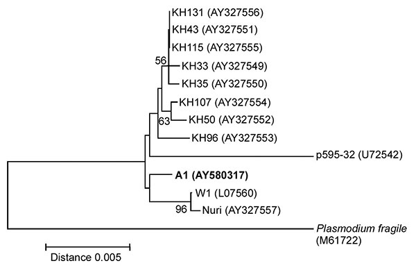 Neighbor-joining tree based on the asexually transcribed SSU rRNA sequences displaying the phylogenetic position of isolate A1 in this study in relation to other Plasmodium knowlesi isolates (AY327549-AY327556 from humans, and L07560, U72542, and AY327557 from monkeys) and Plasmodium fragile (M61722). The tree was constructed with Kimura's two-parameter distance. including transitions and transversions as implemented in the MEGA version 2.1 software. Bootstrap percentages more than 50% based on