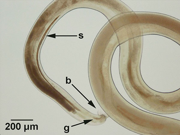 Morphologic features of a male nematode recovered from the central nervous system of a gibbon (Hylobates lar). The characteristics used for specific identification of Parastrongylus cantonensis were the presence of a bursa (b), a gubernaculum (g), and the size of spicules (s).