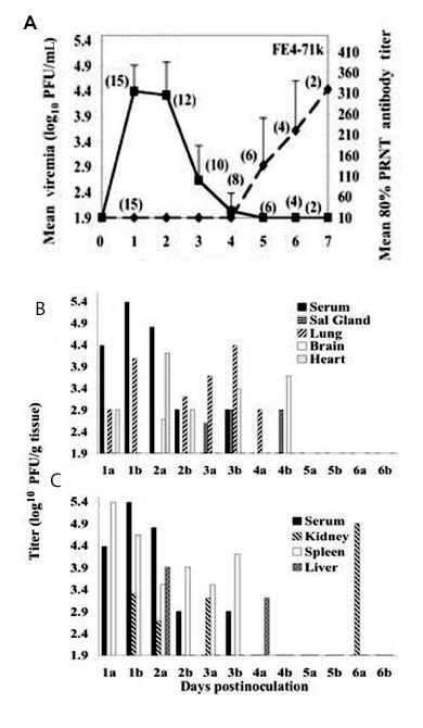 A) Viremia and neutralizing antibody profiles in F1 Florida cotton rats serially sacrificed at daily intervals after infection with 3.2 log10 PFU of Everglades virus strain FE4-71k administered subcutaneously in the left thigh. Lines on each graph represent the geometric mean viremia or mean 80% plaque reduction neutralization test (PRNT) antibody titers; the number of rats bled at each time point is denoted in parentheses above each point. Error bars denote standard deviations. Everglades virus