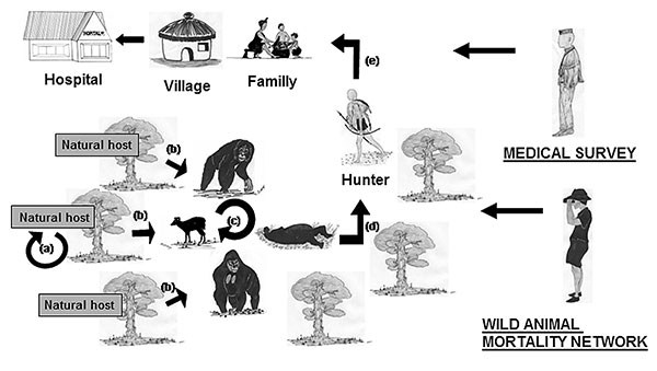 Schematic representation of the Ebola cycle in the equatorial forest and proposed strategy to avoid Ebola virus transmission to humans and its subsequent human-human propagation. Ebola virus replication in the natural host (a). Wild animal infection by the natural host(s) (b), no doubt the main source of infection. Wild animal infection by contact with live or dead wild animals (c). This scenario would play a marginal role. Infection of hunters by manipulation of infected wild animal carcasses o