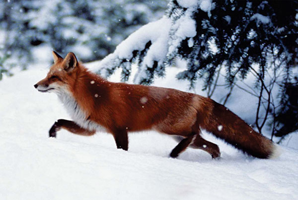 Foxes may be a reservoir of zoonotic agents such as rabies virus and the parasite Echinococcus multilocularis.