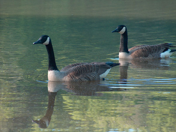 Free-living populations of Canada Geese (Branta canadensis) can serve as reservoirs of antimicrobial-resistant bacteria such as Escherichia coli..