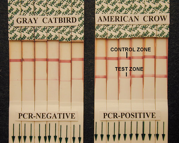 West Nile virus (WNV) VecTest results from oral swabs of Gray Catbirds showing narrow-line false-positive results compared with typical true-positive VecTest results from reverse transcriptase–polymerase chain reaction–positive American Crows. Note the near exclusive deposition of pigment at the lower margin of the test zone on the dipsticks of catbirds, and the distribution of pigment across the full width of the test zone in the WNV-positive crows, even in very weak positive tests.