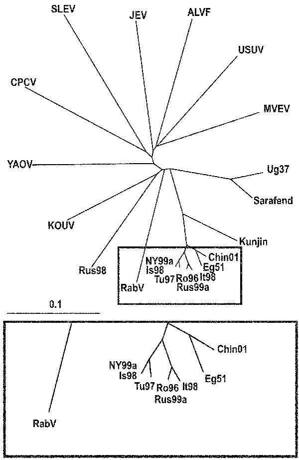 Phylogenetic tree illustrating the genetic relationship between representatives of the Japanese encephalitis virus complex and selected West Nile virus strains based on partial genome sequences of the NS5 protein gene. Bar on the left demonstrates the genetic distance. (Abbreviations and accession numbers are listed in Table 2.)