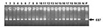 Thumbnail of Agarose gel electrophoresis of Coxiella burnetii Trans-polymerase chain reaction products amplified from total DNA of bulk tank milk samples. Lanes 1 to 20, bulk tank milk samples; N, water negative control; P, positive control (DNA of Nine Mile strain). The arrow indicates the amplification of a 687-bp fragment in the IS1111 sequence of Coxiella burnetii.