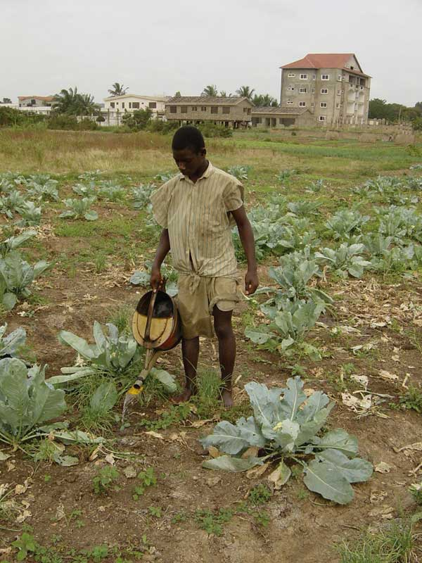 Commercial irrigated vegetable production in urban Accra, Ghana. Courtesy of Dr. Guy Barnish, Liverpool School of Tropical Medicine.
