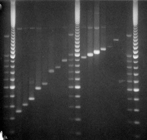 PCR analysis of VNTR3232 locus. Lane 1, 2 repeats; lane 2, 3 repeats; lane 3, 4 repeats; lane 4, 6 repeats; lane 5, 7 repeats; lane 6, 10 repeats; lane 7, 11 repeats; lane 8, 12 repeats; lane 9, 13 repeats; lane 10, 14 repeats; lane 11, 15 repeats; lane 12, 16 repeats; lane 13, 17 repeats; lane 14, 20 repeats. Lanes 1–5, strains other than Beijing; lanes 6–14, Beijing strains. M, molecular weight markers.
