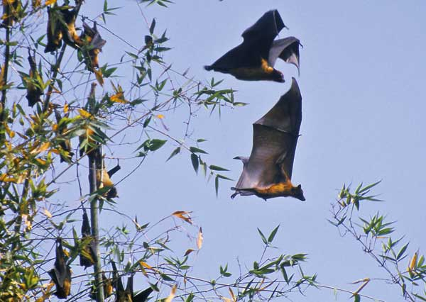 Giant Indian flying foxes (Pteropus giganteus). (Photo by I.V. Kuzmin).