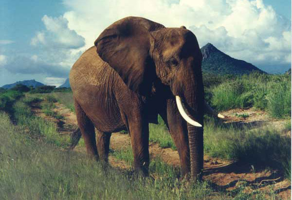 This savannah elephant (Loxodonta africana) did not ask the author for medical advice during his vacation. Photograph courtesy of Edyce Winokur