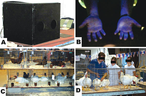 A) UV light box for screening hands for evidence of contamination with fluorescent dye; B) example of fluorescence on contaminated hands; C) stacked poultry in cages at a county fair; D) poultry judge moved from cage to cage, handling each bird and passing bird to exhibitor.