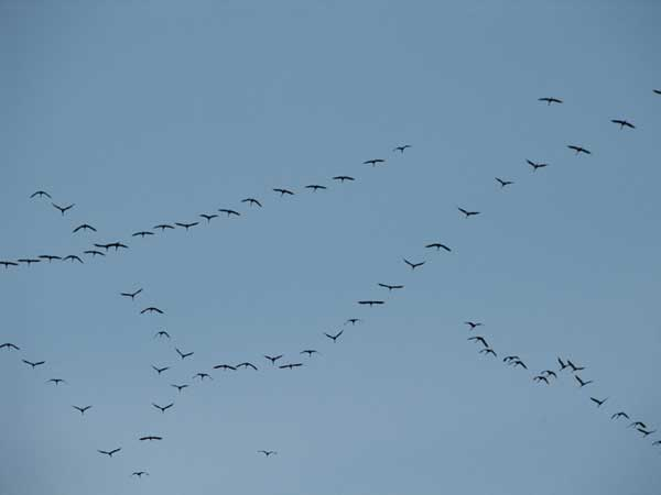 Saurus cranes (Grus antigone) over Naung Mung, Myanmar, in March 2006.