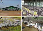 "Thumbnail of Duck-raising systems in Thailand. A) Closed system with high biosecurity, an evaporative cooling system, and strict entrance control. B) Open system but with netting to prevent entrance of passerine birds. Biosecurity was not strictly enforced. This system is no longer approved for the raising of poultry. C) ""Grazing duck raising."" Biosecurity is never practiced in this system. D) Backyard Muscovy ducks raised for a family; no biosecurity is practiced in this system."
