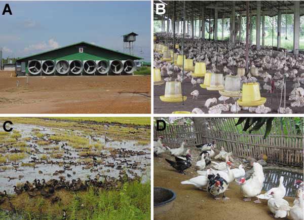 "Duck-raising systems in Thailand. A) Closed system with high biosecurity, an evaporative cooling system, and strict entrance control. B) Open system but with netting to prevent entrance of passerine birds. Biosecurity was not strictly enforced. This system is no longer approved for the raising of poultry. C) ""Grazing duck raising."" Biosecurity is never practiced in this system. D) Backyard Muscovy ducks raised for a family; no biosecurity is practiced in this system."