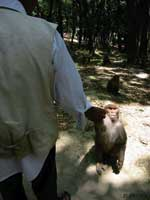 Thumbnail of Rhesus macaques at Swoyambhu Temple routinely get food handouts from local inhabitants and visitors. (Photo by L. Jones-Engel.)