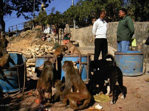 Natural forage is extremely limited at Swoyambhu. Rhesus macaques routinely raid garbage bins and people's homes in search of food. (Photo by R. Kyes.)