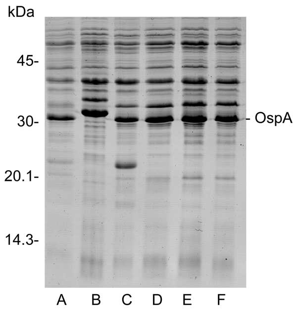 Protein profiles of Borrelia burgdorferi sensu stricto (lane A), B. bissettii (lane B), and spirochetes from Ixodes scapularis ticks collected from DuPage County (lanes C, D) or Cook County (lanes E, F), Illinois.
