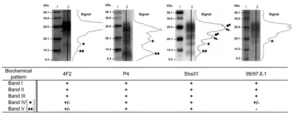Figure 2 - Western blot profiles of PrPres in an atypical scrapie isolate (lane 2) detected by using N-terminal (4F2, P4), central (Sha31), or C-terminal (99/97.6.1) monoclonal antibodies. Molecular weight (MW) standard (lane 1). Immunoreactivities obtained with each antibody on 10 different atypical scrapie isolates are indicated (+, strong, ±, low, –, absent).