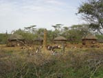 Thumbnail of A large termite mound occupies the central area of this characteristic Pokot compound. The mound provides a resting and breeding site for the sandly vector of visceral leishmaniasis. Photographer: J.H. Kolaczinski.