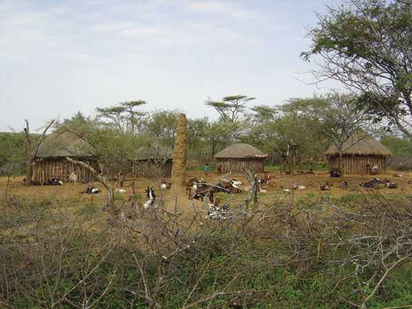 A large termite mound occupies the central area of this characteristic Pokot compound. The mound provides a resting and breeding site for the sandly vector of visceral leishmaniasis. Photographer: J.H. Kolaczinski.