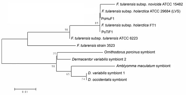 Neighbor-joining phylogenetic tree based on partial sequences of the gene coding the 17-kDa lipoprotein of Francisella tularensis.