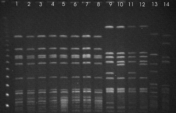 Pulsed-field gel electrophoresis patterns of SmaI-digested DNA of bovine and human strains of Staphyloccocus aureus isolated from cows with subclinical mastitis, Hungary, January 2002–December 2004.