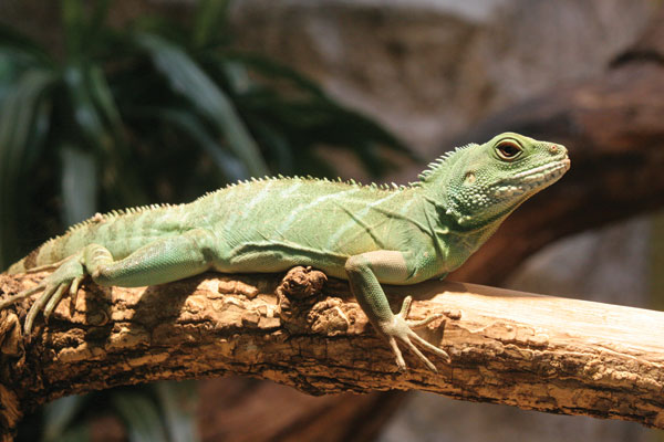 Water dragon (Physignathus cocincinus). Three of the patients with Salmonella Kingabwa infections were exposed to this reptile species. Photo credit: Robert Lawton, rklawton@LawtonPhotos.com.