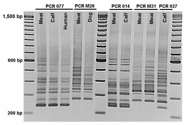Comparison of PCR ribotypes of Clostridium difficile isolates from meat and of human, bovine, and canine origin in Ontario, Canada, 2005, by using the method of Bidet et al (10). PCR 077, 014, and 027 represent international ribotype nomenclature recently reported for calves (4). PCR M26 and M31 are temporary ribotype designations. Note that PCR M31 and 027, both NAP1/toxinotype III ribotypes, are different.