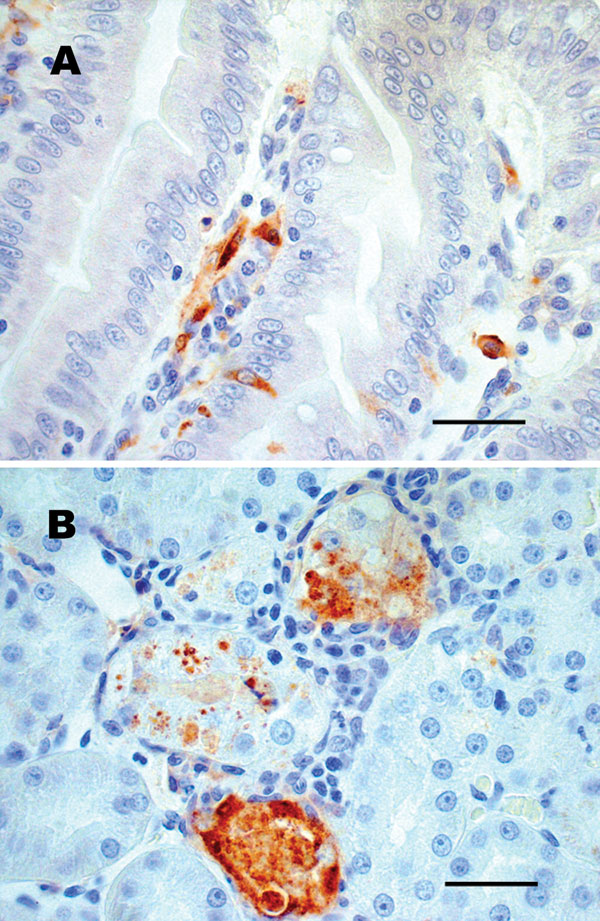 Sections of chipmunk tissues 9 days after intramuscular inoculation with West Nile virus (WNV). A) Lesions were absent, but WNV antigen (brown staining) was demonstrated in scattered epithelial cells and in macrophagelike cells in the lamina propria of the small intestine. B) WNV antigen (brown staining) was demonstrated in necrotic renal tubular epithelial cells. Tissues were stained with hematoxylin, and WNV-specific mouse ascites fluid (ATCC Catalog #VR01267CAF) was used as the primary antibody for immunohistochemical staining. Scale bars = 50 μm.
