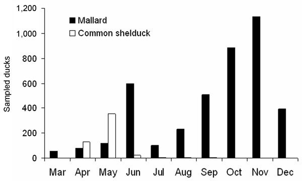 Seasonal variation in the number of sampled mallards (black bars) and common shelducks (open bars). Data from 2002–2005 have been pooled.