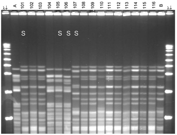 Pulsed-field gel electrophoresis (PFGE) analysis of chromosomal DNA from pharyngeal meningococcus isolates (stained with ethidium bromide). Whole chromosome DNA macrorestriction fragments were generated by digestion with endonuclease SpeI. Shown are examples of sequence type (ST) prediction by PFGE in carried meningococci and diversity among STs. S, isolates tested by multilocus sequence typing (MLST). Lanes λ (arrows), PFGE marker I (Boehringer Mannheim, Mannheim, Germany); lane A, ST-2881, meningitis case isolate, Niger 2003; lanes 101, 102, and 103, ST-11, W135:2a:P1.5,2; lanes 104 and 105, ST-2881, W135:NT:P1.5,2; lane 106, ST-4151, W135:NT:P1.5,2; lane 107, ST-112000, W135:NT:P1.5,2; lanes 108–116, ST-11, W135:2a:P1.5,2; lane B, meningitis case isolate, ST-11, Niger 2003. Isolates 101 and 107 were identified as ST-11 by MLST. Isolates 102, 103, 108, 109, and 111–116 are indistinguishable from isolate 101 and are therefore considered ST-11. The 19 ST-11 isolates had 4 different PFGE patterns, of which 3 are represented by isolates 101, 107, and 110. The pattern of isolate 107 is indistinguishable from the 2000 Hajj epidemic strain (not shown).