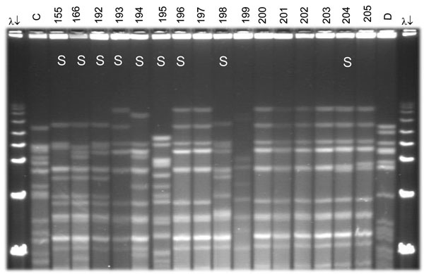 Pulsed-field gel electrophoresis (PFGE) analysis of chromosomal DNA from pharyngeal meningococcus isolates (stained with ethidium bromide). Whole chromosome DNA macrorestriction fragments were generated by digestion with endonuclease SpeI. Shown are examples of sequence type (ST) prediction by PFGE in carried meningococci and diversity among STs types. S, isolates tested by multilocus sequence typing (MLST). Lanes λ (arrows) PFGE marker I (Boehringer Mannheim, Mannheim, Germany); lane C, ST-2881, meningitis case isolate, Niger 2003; lanes 155, 166, and 192–194, ST-192, NG:NT:NST; lane 195, ST-198, NG:15:P1.6; lanes 196–198, ST-192, NG:NT:NST; lane 199, isolate unrelated to the presented study; lanes 200–205, ST-192, NG:NT:NST; lane D, meningitis case isolate, ST-11, Niger 2003. Isolates 192, 193, 194, 196, 198, and 204 were identified as ST-192 by MLST. Isolates 197, 200, 201, 202, and 203 are indistinguishable from isolate 196 and are thus considered ST-192. ST-192 isolates from this study had 10 different PFGE patterns, of which 6 are represented by isolates 155, 166, 192, 194, 196, and 204.