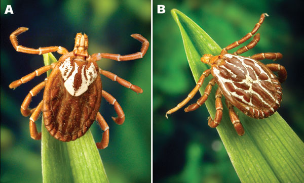 Adult Amblyomma maculatum (the Gulf Coast tick). A) Female; B) Male. Photographs courtesy of James Gathany, Centers for Disease Control and Prevention