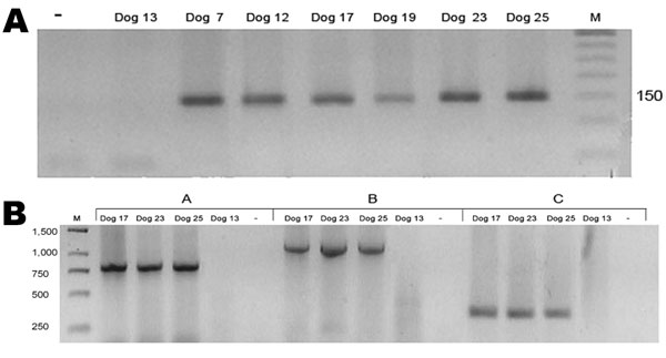 A) Anaplasma platys nested PCR products of 30 blood samples from dogs in Chile. Positive samples from dogs 7, 12, 17, 19, 23, and 25 are indicated by a 150-bp band. –, PCR-negative control; dog 13, negative control; M, 50-bp DNA ladder. Value on the right is in basepairs. B) Second-round A. platys groESL nested PCR products of dog DNA samples with 3 sets of primers. Group A, SQ5F/SQ4R (790 bp); group B, SQ3F/SQ4R (1,170 bp); group C, SQ3F/SQ6R (360 bp). M, GeneRuler 1-kb DNA ladder (Fermentas, Hanover, MD, USA); Dog 13, negative control; –, PCR-negative control. Values on the left are in basepairs.
