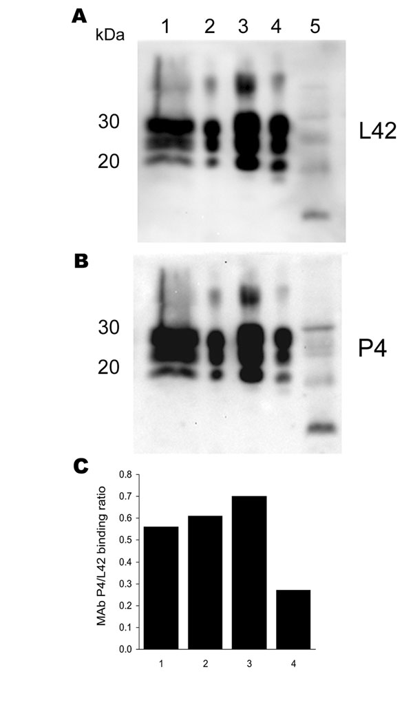 Antibody-binding patterns of the prion protein (PrPSc) associated with cases of ARR/ARR scrapie in France and Germany. A) and B) Western blots showing the differences in monoclonal antibody (MAb) P4 binding compared with the internal standard MAb L42 of PrPSc derived from S115/04 (ARR/ARR Germany), S83 (ARR/ARR France), ovine ARQ/ARQ bovine spongiform encephalopathy (BSE), and S95 (classic scrapie) cases. Banding intensities were quantified by photoimaging, and binding ratios were calculated. Note the significantly weaker P4 binding to the ovine BSE sample. Lane 1, S115/04; lane 2, S83; lane 3, S95; lane 4, ovine BSE; lane 5, atypical S15. C) Relative MAb binding ratios for lane nos. 1–4 in the Western blots shown in A) and B).