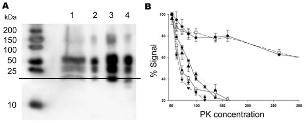Biochemical characterization of the prion protein (PrPSc) associated with ARR/ARR cases in France and Germany. A) Western blot (stained by monoclonal antibody L42) illustrating that protein kinase (PK)– treated ovine bovine spongiform encephalopathy (BSE) PrPSc has ≈1-kDa lower molecular mass than PrPSc from the scrapie cases. Lane 1, S115/04, molecular mass (MM) 20.95 kDa; lane 2, S83, MM 19.96 kDa; lane 3, S95 classic scrapie, MM 19.64 kDa; lane 4, ovine BSE, MM 18.85 kDa. B) PrPSc PK sensitivity measured by using brain from S83 scrapie case (▲), ARR/ARR BSE in sheep (○), ARQ/ARQ BSE in sheep (●), BSE from bovines (■), an ARR/ARR atypical scrapie case (▼), and 20 randomly selected isolates from sheep with scrapie in France (2 cases shown, represented as □ and ◆). PrPSc ELISA measurements were performed by using the TeSeE Sheep/Goat rapid test (Bio-Rad) after brain homogenate digestion using a PK concentration ranging from 50 µg/mL to 500 µg/mL. Three tests were performed for each sample and PK concentration.