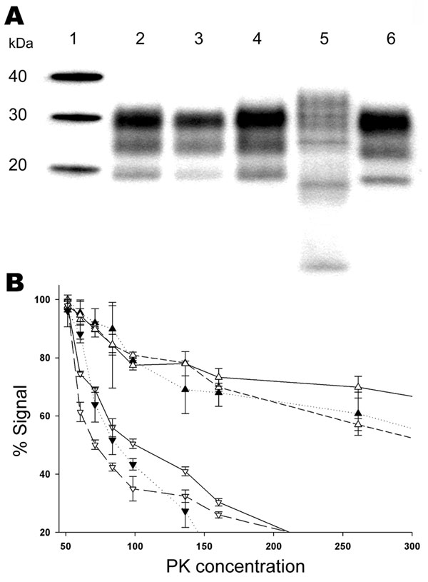 Biochemical properties of prion protein (PrPSc) associated with the ARR/ARR scrapie case S83 from France after passage in Tg 338 VRQ mice. A) Western blot mobility of the original S83 ARR/ARR case (lane 3) and S83 passaged in Tg338 (lane 4) were similar and comparable to a classic scrapie isolate (Langlade, lane 2). PrPSc WB profile of ARR/ARR bovine spongiform encephalopathy (BSE) in sheep (lane 6) and profiles of atypical scrapie case isolates (lane 5) passaged into Tg338 mice were readily distinguishable by their banding pattern or electromobility. B) PrPsc protein kinase (PK) sensitivity of the original S83 isolate (▼) and a classic scrapie isolate (Langlade) (△) compared with S83 (▽) and Langlade (▲) that had been passaged in Tg338 (2 different mice for each isolate). Triplicate ELISA measurements were performed by using the TeSeE Sheep/Goat rapid test (Bio-Rad), after brain homogenate digestion with PK concentration ranging from 50 µg/mL to 500 µg/mL.