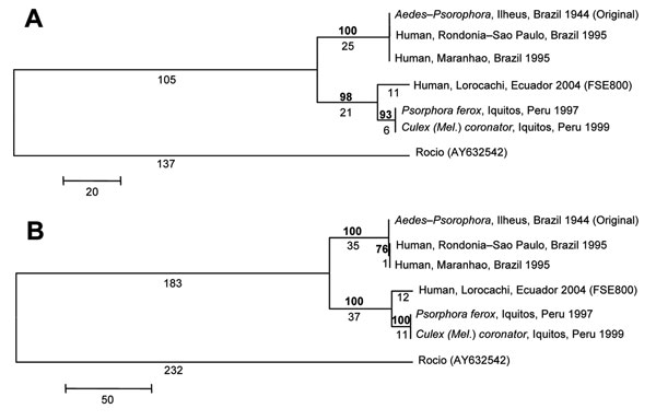 Phylogenetic analysis of the NS5 (A) and E gene (B) regions of 6 Ilheus virus (ILHV) isolates. The sequences were aligned in MegAlign (DNASTAR, Inc., Madison, WI, USA); the alignments were then analyzed by using the maximum parsimony method with 500 bootstrap replicates in the program MEGA 3.1 (10). Rocio virus (GenBank accession no. AY632542) was included as an outgroup in the analysis, based on the phylogram of Kuno and Chang (1). Bootstrap values, shown in boldface above the branch, are percentages derived from 500 samplings; branch lengths are shown below the branch. The sequences generated from our study were deposited in GenBank under accession nos. EF396941–EF396952.